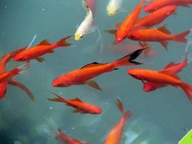 阴阳师鲤鱼精信物图片是什么 鲤鱼精信物图片汇总
